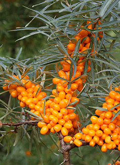 Fruit of the sea buckthorn